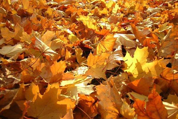 Кому дума поможет с уборкой листьев?
