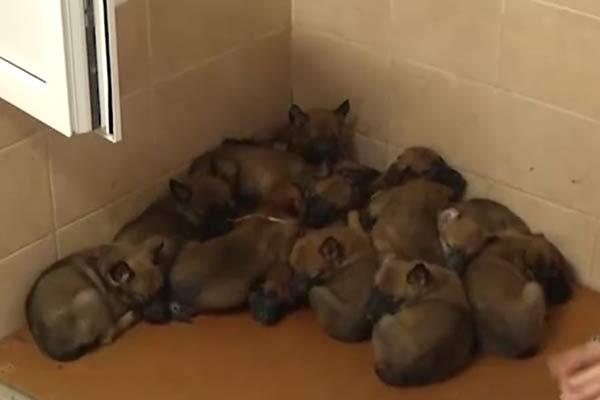 В Резекненском погранколледже родилось 14 щенков за раз