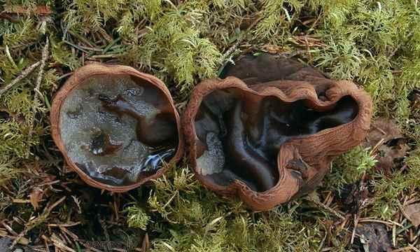 В окрестностях Резекне обнаружили редчайший гриб